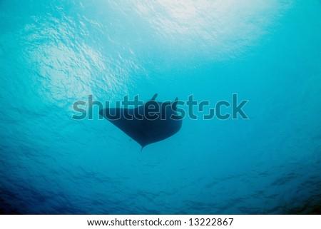 manta (manta birostris) - stock photo