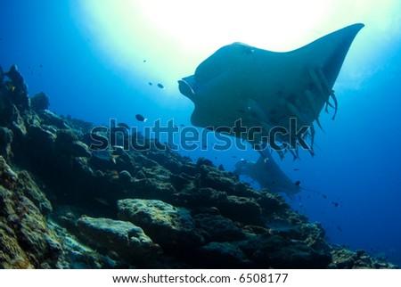 Manta over reef - stock photo