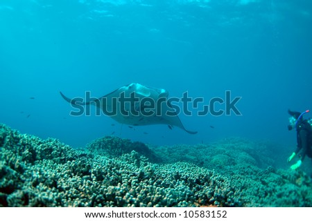 manta ray and scuba diver - stock photo