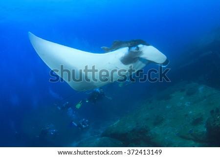 Manta Ray and scuba divers - stock photo