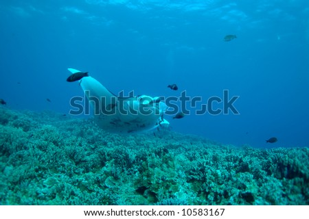 manta ray cleaning spot - stock photo