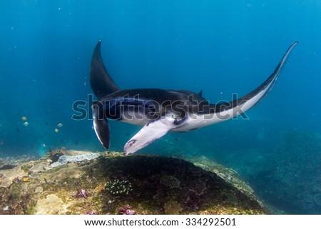 Manta ray dance. Manta in shallow water. Nusa Penida, Indonesia. - stock photo