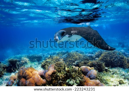 Manta ray filter feeding above a coral reef in the blue Komodo waters - stock photo
