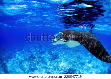 Manta ray filter feeding in the blue Komodo waters - stock photo