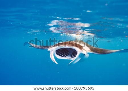 Manta ray floating underwater among plankton - stock photo