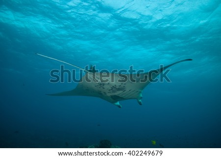 Manta Ray gliding above in blue water. Picture taken from below, underwater.