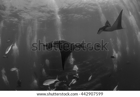 Manta Ray in Black & White - stock photo