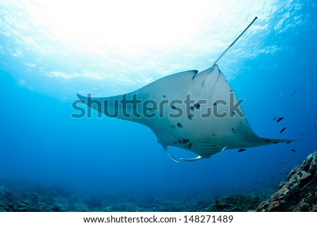 Manta ray in Indian Ocean - Maldives, North Male Atoll - stock photo