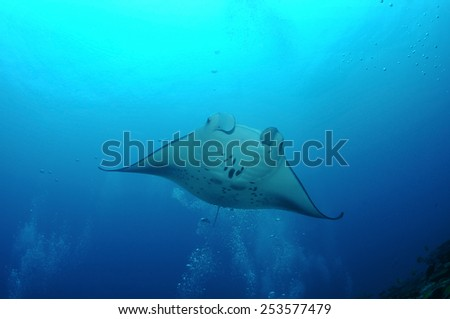 Manta-ray is floating in bubbles at the cleaning station, S. Ari Atoll, Maldives - stock photo