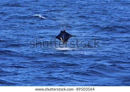 Manta ray jumping out of the Pacific ocean - stock photo