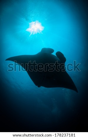 Manta ray (Manta birostri) swims in the sun's rays, South Ari Atoll, Maldives - stock photo