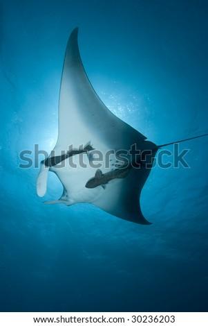 Manta Ray  (Manta birostris) - stock photo