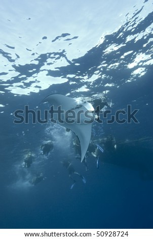 Manta Ray (Manta birostris), Low angle view with people following on the surface. endangered. Ras Mohammed National Park. Red Sea Egypt. - stock photo