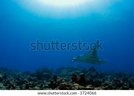Manta ray over reef - stock photo