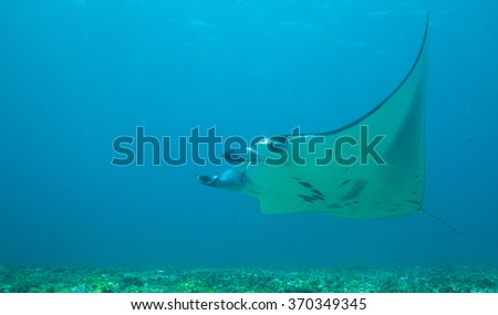 Manta Ray Swimming from right to left in this underwater landscape photo from Indonesia - stock photo
