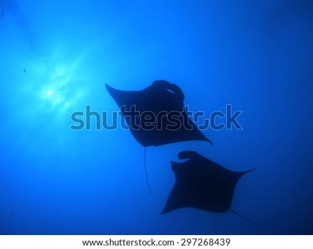 Manta ray swimming in the blue ocean Palau