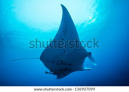 Manta ray swimming under water - stock photo