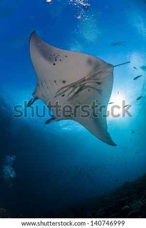 Manta ray underneath with sunburst and blue background in maldives indian ocean - stock photo