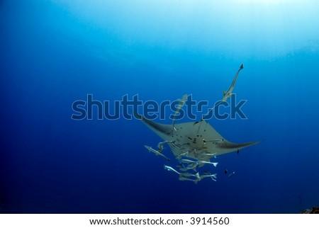 Manta ray with pilot-fish - stock photo