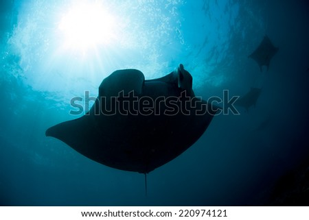 Manta rays (Birostris alfredi) cruise over a reef off Nusa Penida near Bali, Indonesia. Manta rays migrate to this area to mate and be cleaned of parasites by small reef fish.