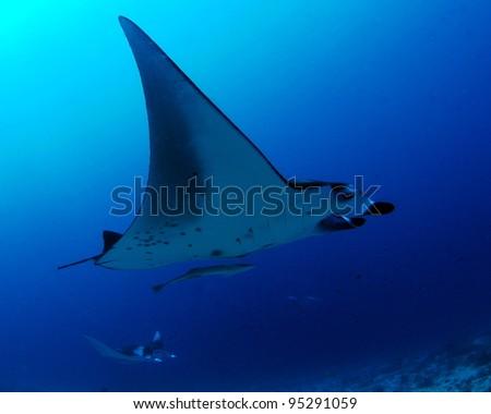Manta rays, Maldives - stock photo