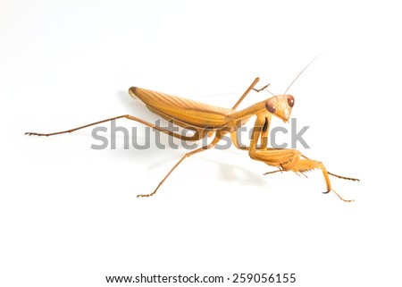 mantis bug insect isolated on white - stock photo