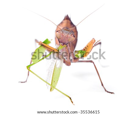 locust hispanic singles Locust: locust, any of a group of insects, usually short-horned grasshoppers, in the family acrididae known for their destructive migratory swarm phase.