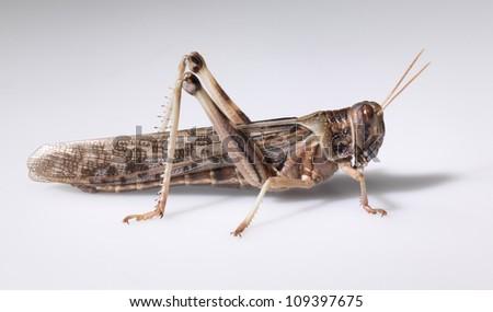 mantis/grasshopper - stock photo