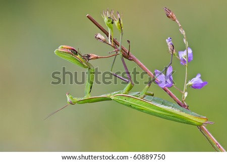Mantis hanging on a branch - stock photo
