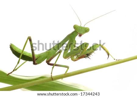 mantis isolated on white background - stock photo