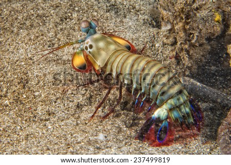 Mantis Lobster defending eggs in its nest - stock photo