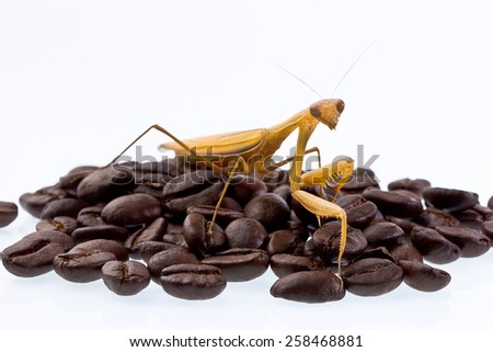 Mantis or Praying Mantis in coffee beans on white background - stock photo