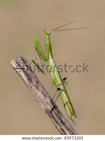 Mantis religiosa (Praying Mantis) pretending to be also a wooden stick, but his color is just different