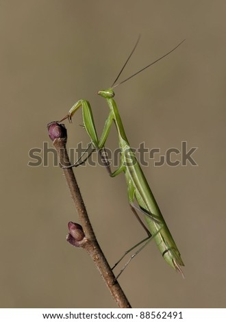 Mantis religiosa towards the top