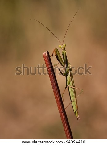 Mantis religiosa watching straight forward in trance on a beautiful background