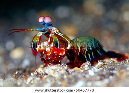 Mantis shrimp - stock photo