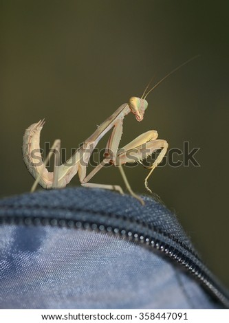 Mantis sitting on backpack and looking at the camera