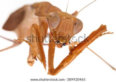 Mantis Sphodromantis sp. isolated on white - stock photo