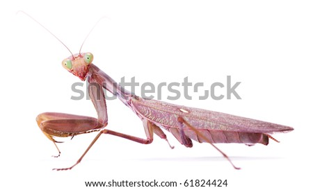 mantis stare to you - stock photo
