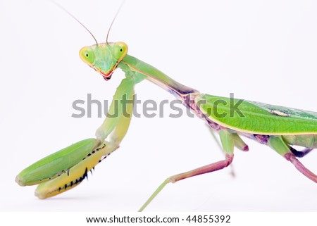 mantis stare to you isolated on white background - stock photo