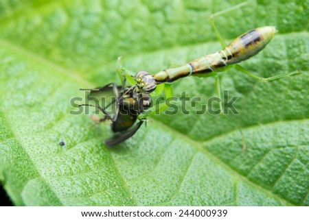 Mantis with prey