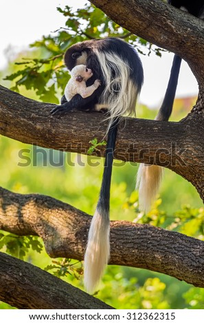 Mantled guereza (Colobus guereza) hugging its baby - stock photo