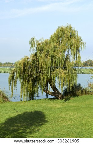 Mantova,Italy,  a weeping willow  in autumn colors in a public park