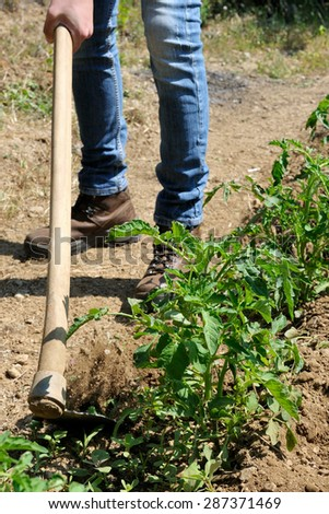 Manual processing of the ground with hoe in a tomatoes cultivation