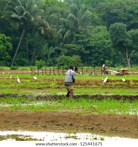 manual work of the man on the rice field. Island Sri Lanka - stock photo