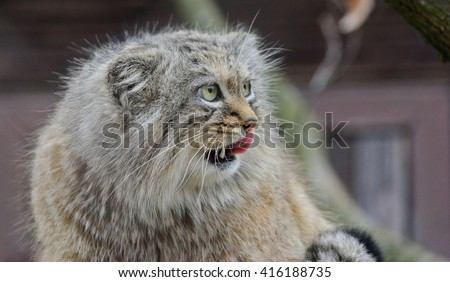 manul the wild cat close up portrait