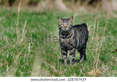 Manx cat out hunting in a field - stock photo