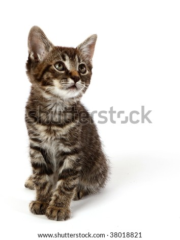 Manx kitten on a white background with room for text