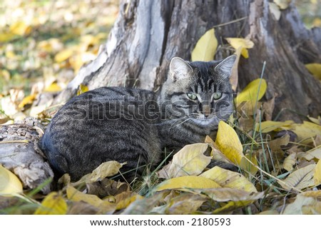 Manx Tabby cat taking a nap in the fall leaves. - stock photo