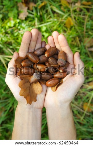 many acorns and oak leaf in opened palms, view from above - stock photo